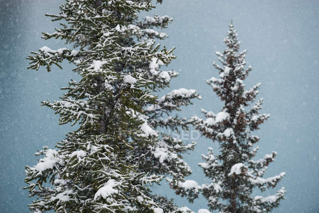 Trees covered with snow in the forest — Stock Photo