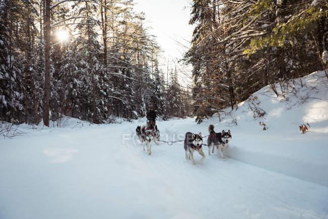 Chiens Husky tirant traîneau sur un paysage enneigé — Photo de stock