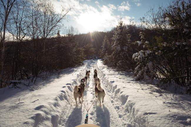 Husky cani tirando slitta su un paesaggio innevato — Foto stock