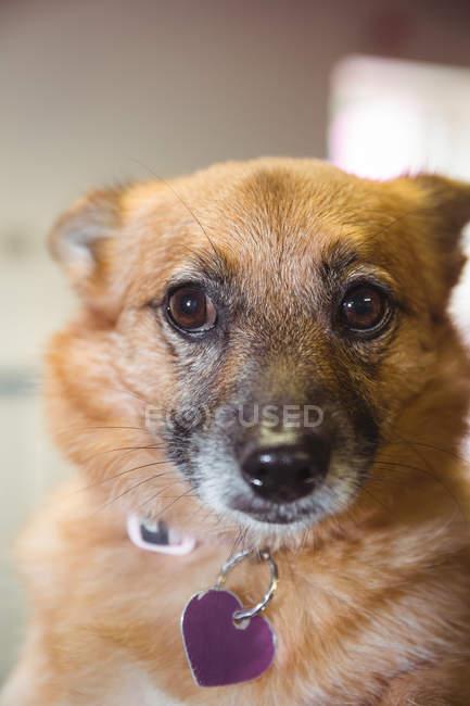 Nahaufnahme des Deutschen Schäferhund Welpen — Stockfoto