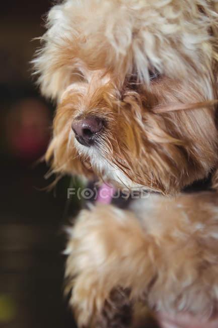 Close-up de brinquedo cachorro poodle no centro de cuidados do cão — Fotografia de Stock
