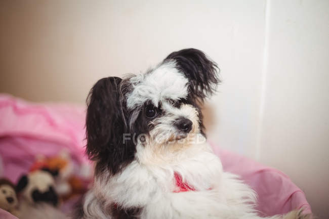 Papillon dog in dog basket at dog care center — Stock Photo