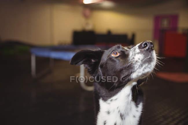 Крупный план любопытной собаки, смотрящей вверх — стоковое фото