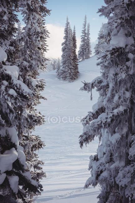 Snowy pine trees on the alp mountain during winter — Stock Photo