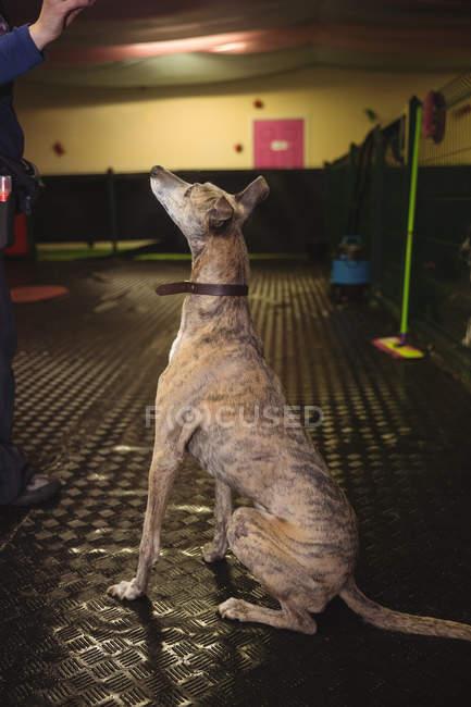 Curious greyhound dog looking up at dog care center — Stock Photo