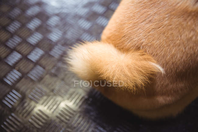 Cauda de shiba inu cachorro no centro de cuidado do cão — Fotografia de Stock
