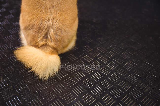 Queue de chiot shiba inu au centre de soins pour chiens — Photo de stock
