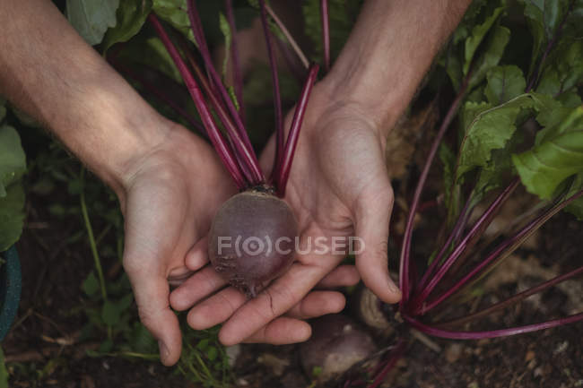 Close-up of harvesting beetroot in vegetable garden — Stock Photo