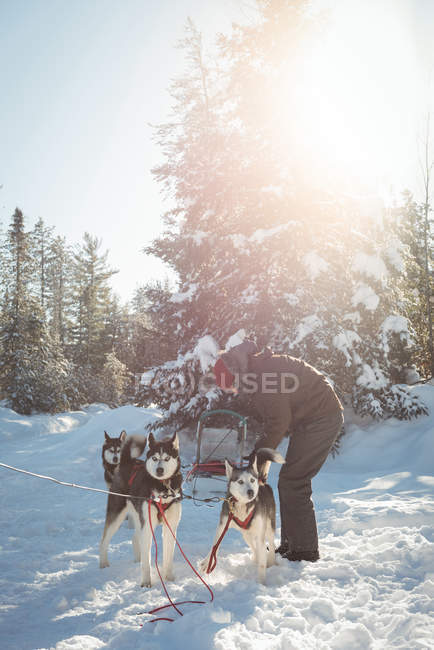 Musher tying husky dogs to the sledge during winter on a snowy landscape — Stock Photo