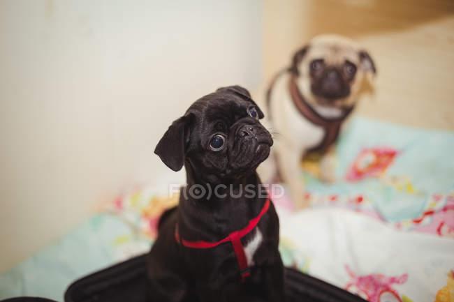 Cães Pug descansando na cama de cachorro no centro de cuidado do cão — Fotografia de Stock