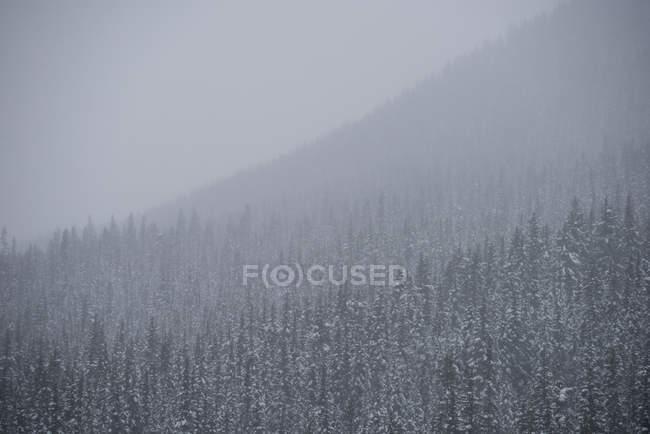 Árvores cobertas de neve na floresta — Fotografia de Stock
