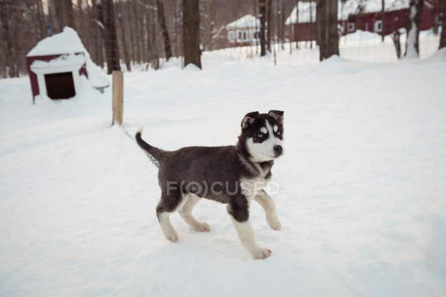 Giovane siberiano cane in attesa sulla neve — Foto stock