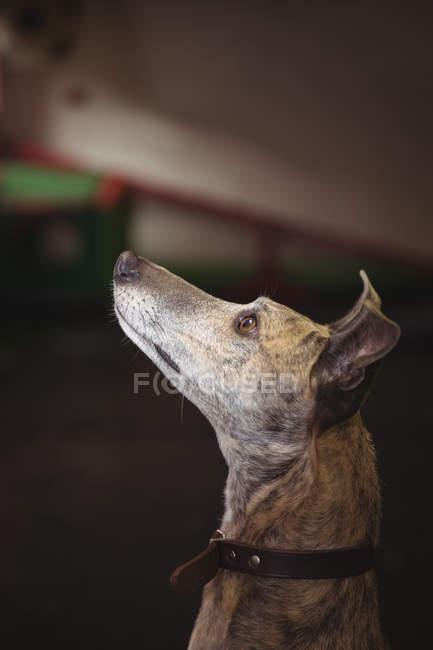Curioso perro galgo mirando hacia el centro de cuidado del perro - foto de stock