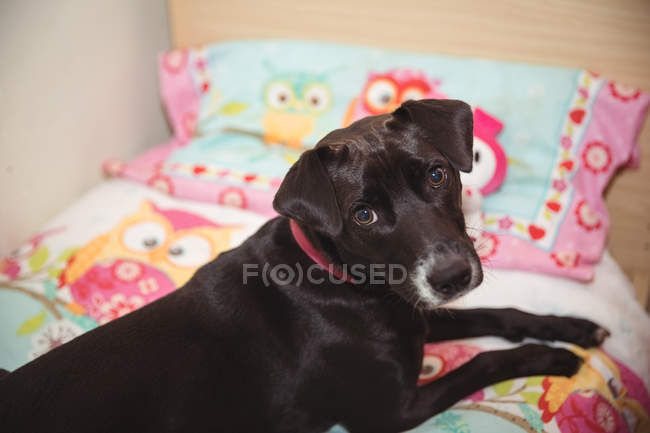 Portrait of black beagle sitting on dog bed at dog care center — Stock Photo