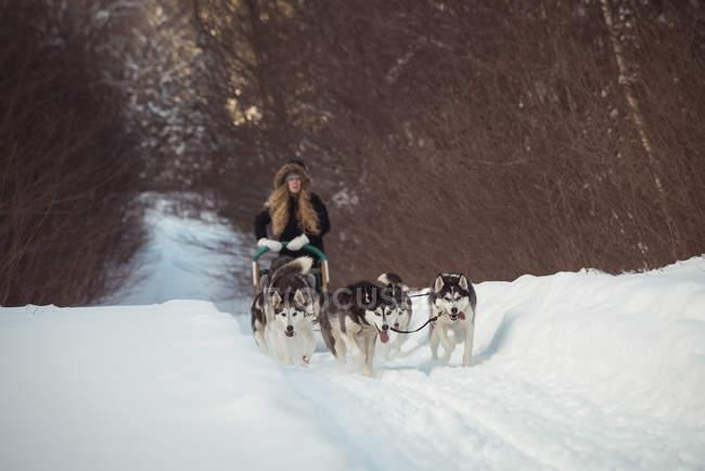 Groupe de chien sibérien tirant traîneau femme portant — Photo de stock