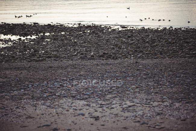 Скелястий берег уздовж моря з розпущеним водоплавних птахів в сутінках — стокове фото