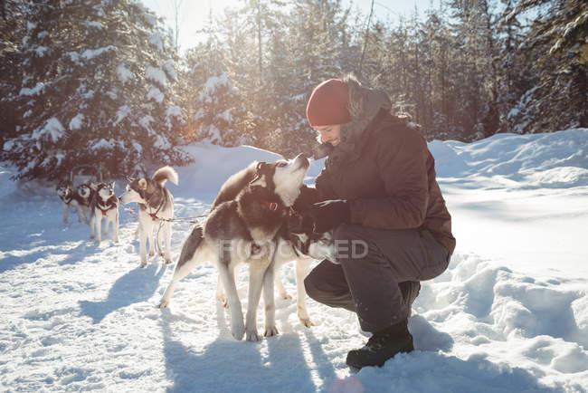 Мушер привязывает хаски к саням зимой на снежном ландшафте — стоковое фото