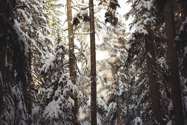 Pins, couverte de neige en panoramique rétro-éclairé en hiver — Photo de stock