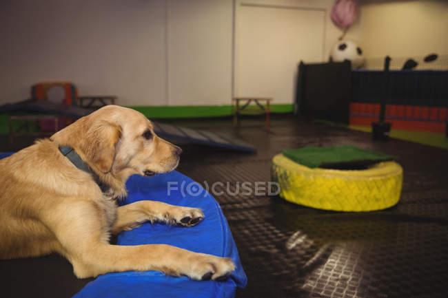 Golden Retriever entspannt auf Trampolin in Hundeschule — Stockfoto
