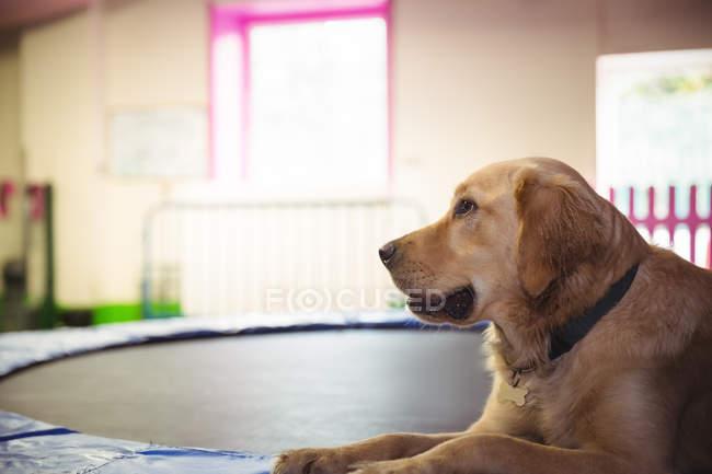 Golden retriever relaxant sur trampoline au centre de soins pour chiens — Photo de stock