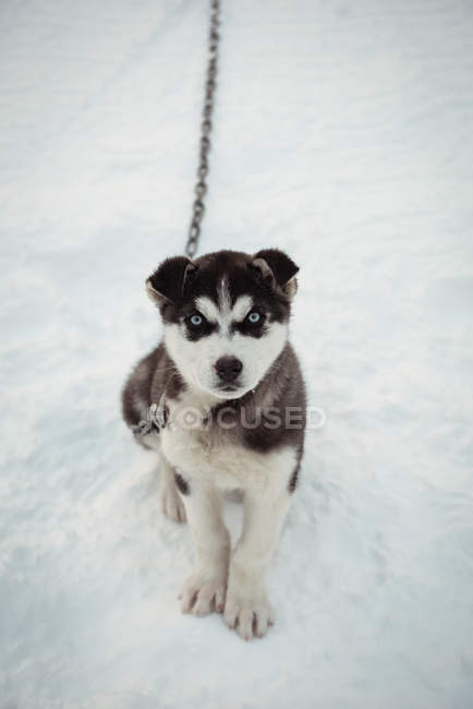 Young Siberian dog awaiting on snow — Stock Photo