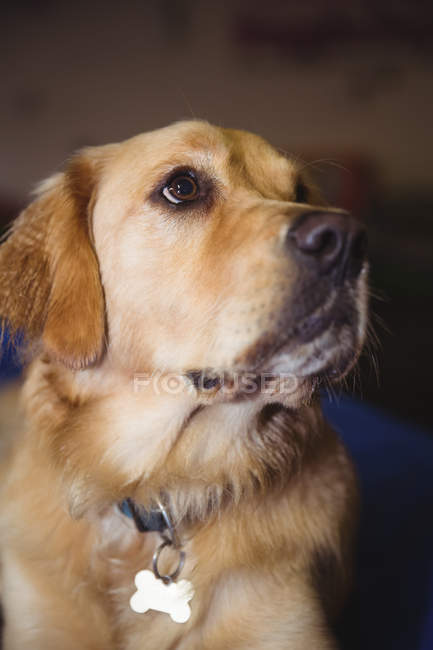 Gros plan du golden retriever au centre de soins chien — Photo de stock