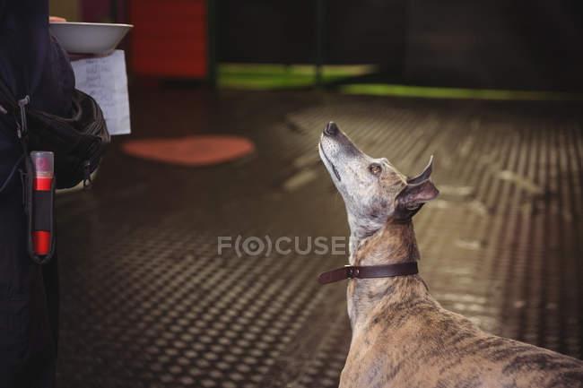 Primo piano del cane levriero guardando il centro di cura del cane — Foto stock