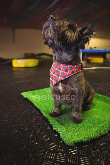 Shih tzu cachorro sentado no tapete e olhando para o centro de cuidado do cão — Fotografia de Stock