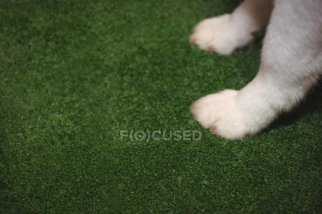 Закри лапу Сибірський хаски на зелений килимок — стокове фото