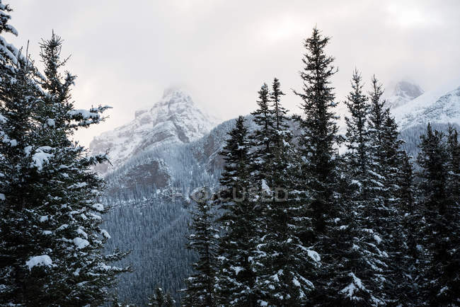 Trees covered with snow in wintry mountain forest — Stock Photo