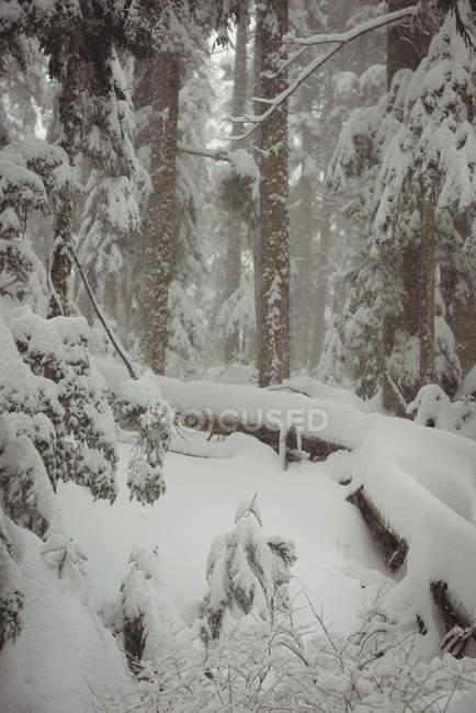 Árboles de pino cubren de nieve durante el invierno - foto de stock