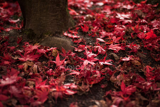 Non-urban scene of maple leaves fallen on ground — Stock Photo