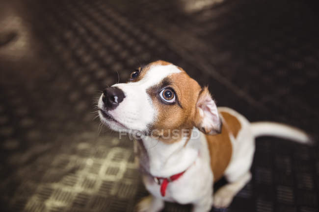 Close-up of rat terrier puppy looking up at dog care center — Stock Photo