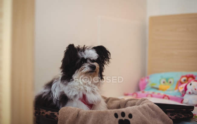Papillon dog in suitcase on dog bed at dog care center — Stock Photo