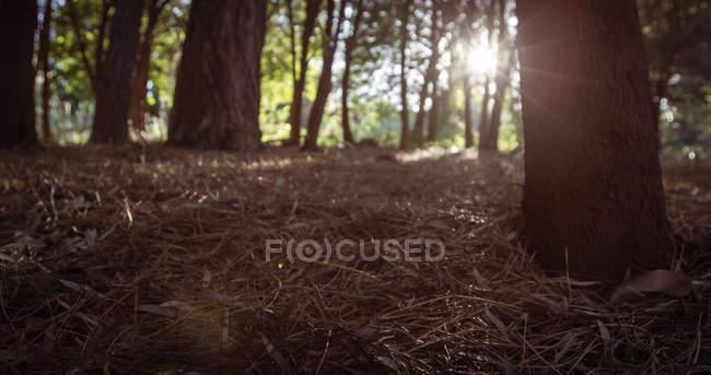 Солнечный свет сквозь деревья в лесу — стоковое фото
