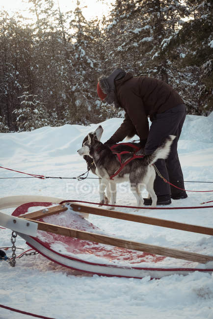 Man preparing Siberian husky dogs for a ride during winter — Stock Photo
