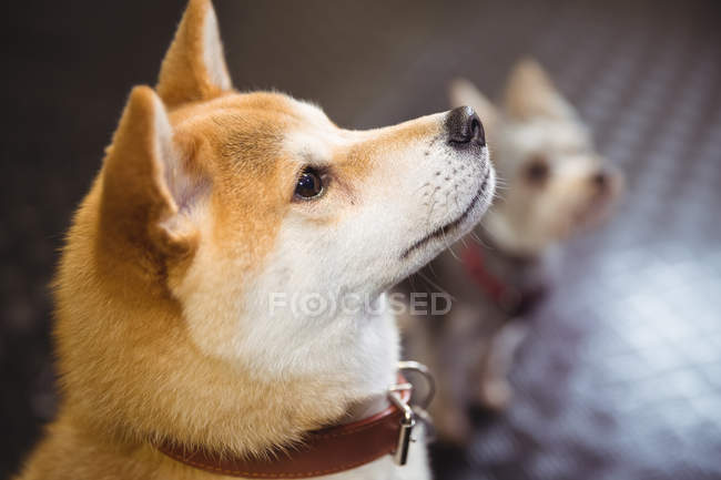 Close-up of shiba inu puppy looking up at dog care center — Stock Photo