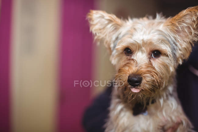 Close-up of yorkshire terrier puppy - foto de stock