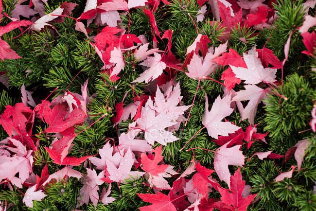 Nahaufnahme von Ahorn Blätter gefallenen auf dem grünen Rasen — Stockfoto