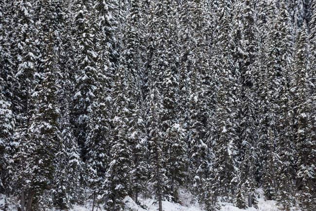 Árboles cubiertos de nieve en el bosque, marco completo - foto de stock