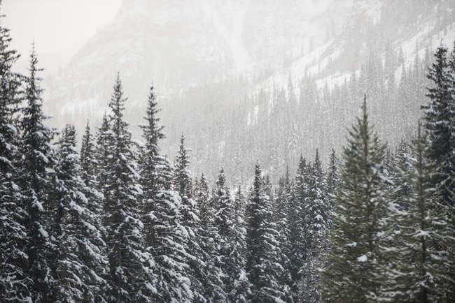 Дерева, покриті взимку снігу в лісі — стокове фото
