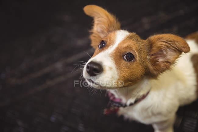 Закри щур тер'єра цуценя переглядає собака догляд центр — стокове фото
