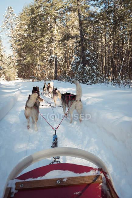 Group of Siberian dog pulling sleigh — Stock Photo