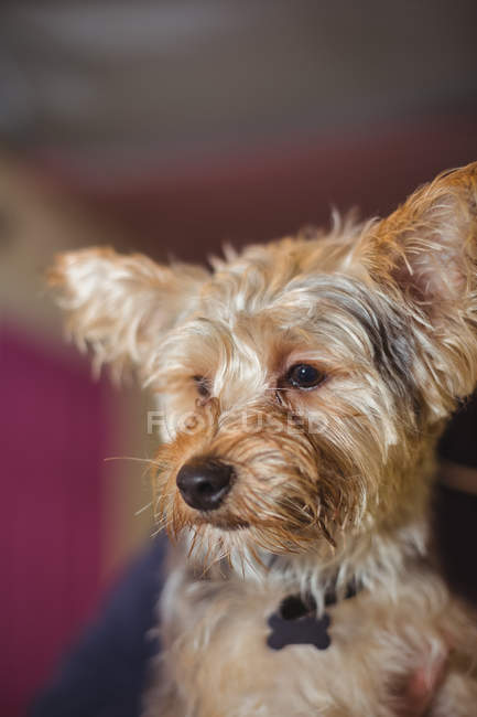 Close-up of yorkshire terrier puppy — Stock Photo
