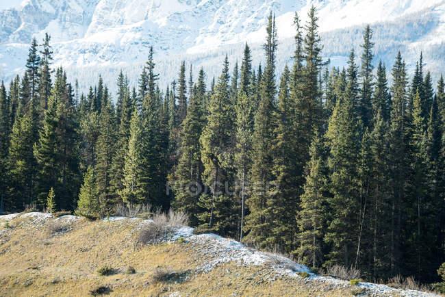 Vue majestueuse de pins dans une forêt dense — Photo de stock