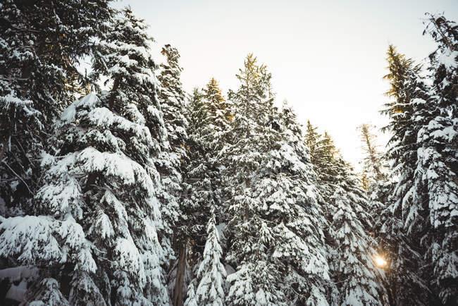 Árboles de pino cubren de nieve escénica bajo la luz solar durante el invierno - foto de stock