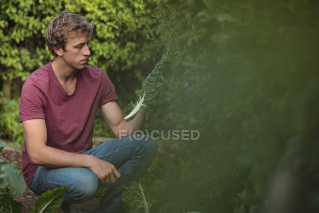 Man cutting lettuce leaves from plant in vegetable garden — Stockfoto