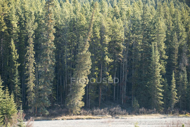 Scenic view of pine trees in green seasonal forest — Stock Photo
