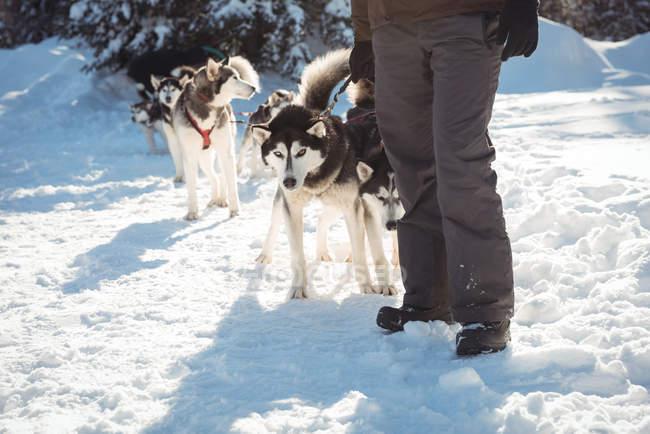 Metà di sezione di musher in piedi con i cani husky su un paesaggio innevato — Foto stock