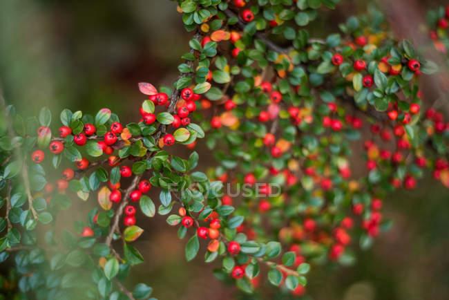 Close-up de bagas vermelhas e folhas verdes na filial — Fotografia de Stock